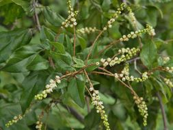 Image of Small-Flower Mock Buckthorn