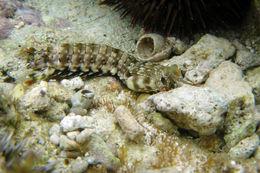 Image of <i>Gonodactylus chiragra</i> (Fabricius 1781)
