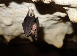 Image of Least Horseshoe Bat