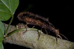 Image of <i>Pylaemenes guangxiensis</i> (Bi & T. Li 1994)