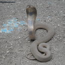 Image of Central Asian Cobra