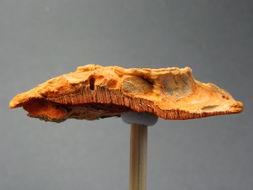 Image of Orange polypore