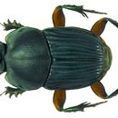 Image of <i>Liatongus femoratus</i> (Illiger 1800)