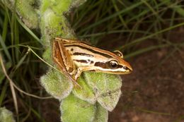 Image of Striped Stream Frog
