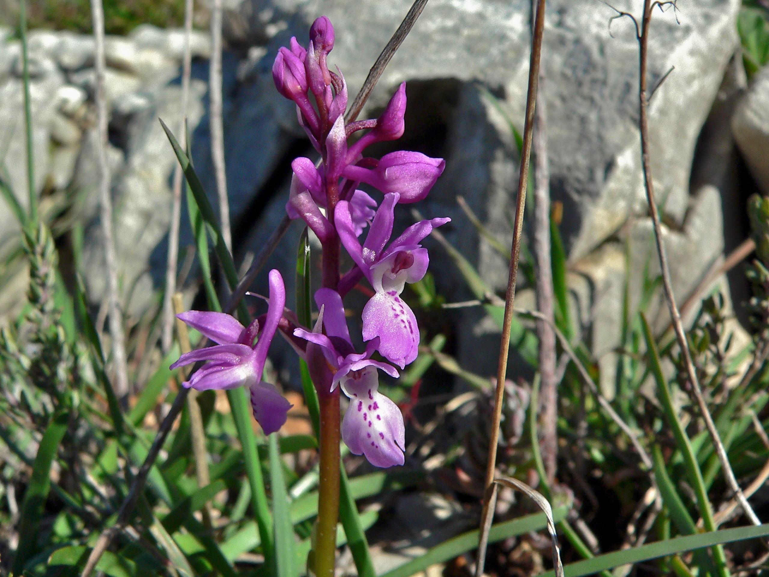 Image of <i>Orchis olbiensis</i> Reut. ex Gren.