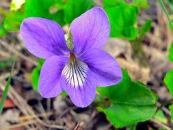 Image of sweet violet