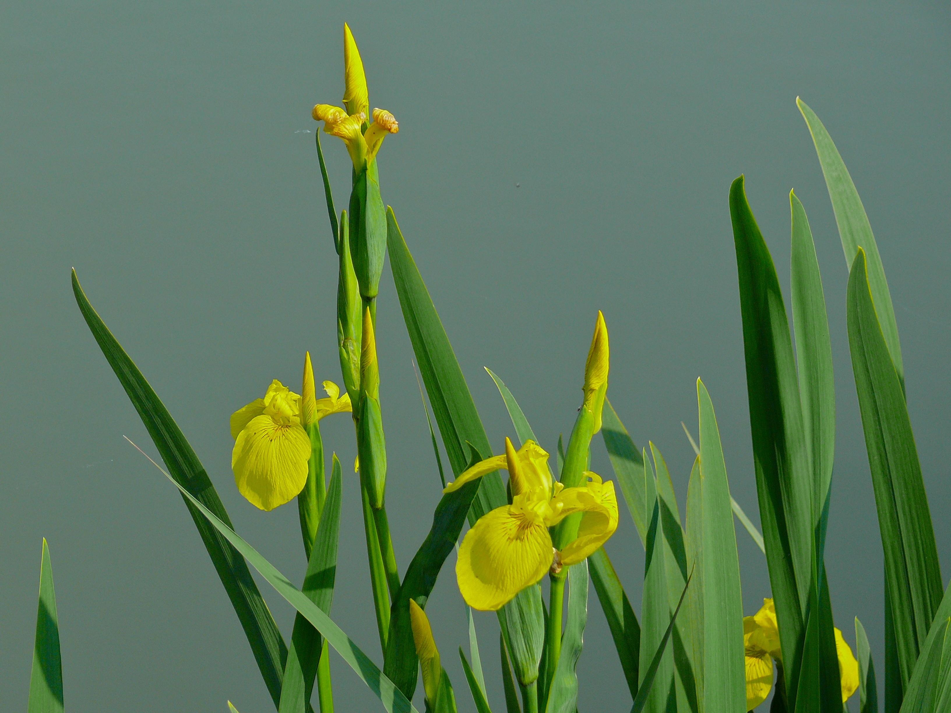 Image of yellow flag, yellow iris