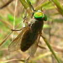 Image of downland horsefly