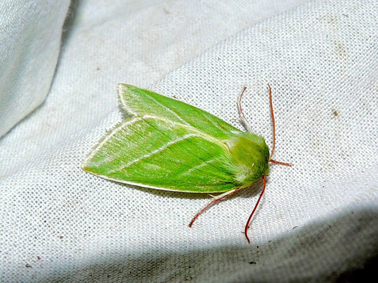 Image of <i>Pseudoips prasinanus</i>