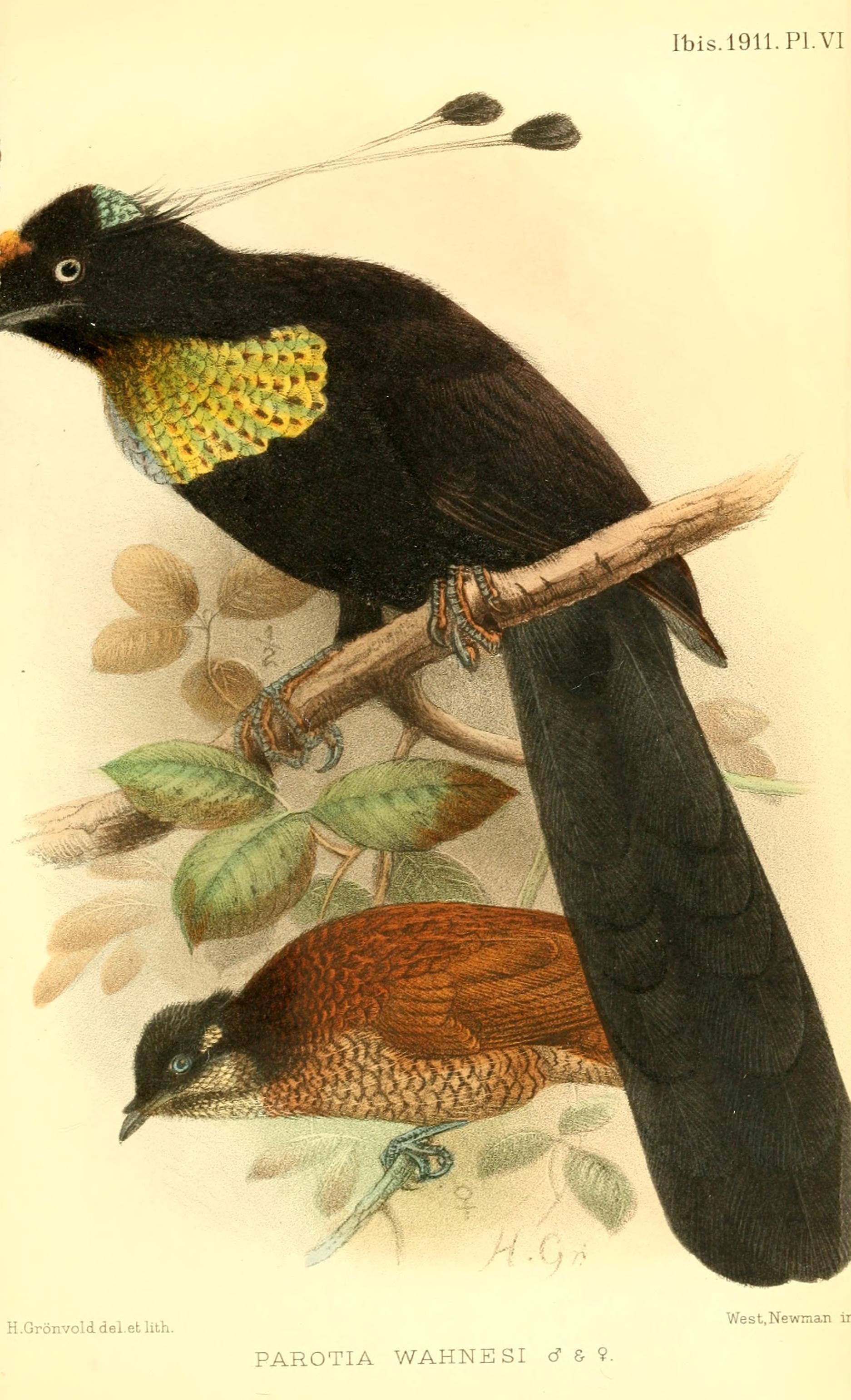 Image of Wahnes's Parotia