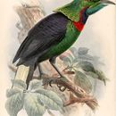 Image of Astrapia Vieillot 1816
