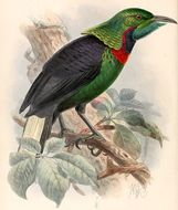 Image of Splendid Astrapia