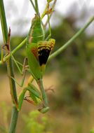 Image of Mediterranean Mantis