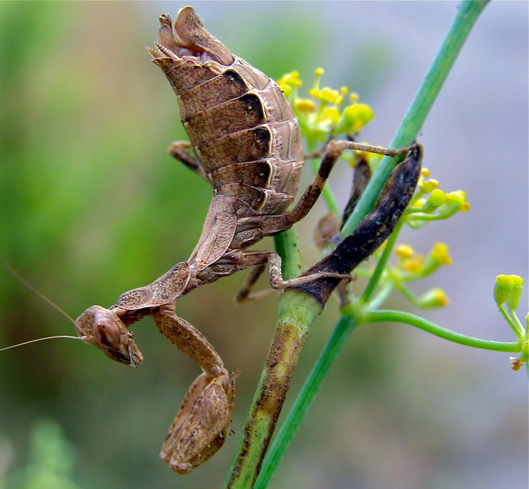 Image of European dwarf mantis