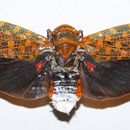 Image of <i>Poiocera pandora</i>