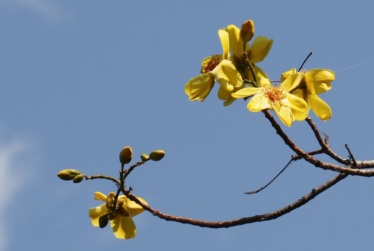 Image of <i>Cochlospermum gillivraei</i> Benth.