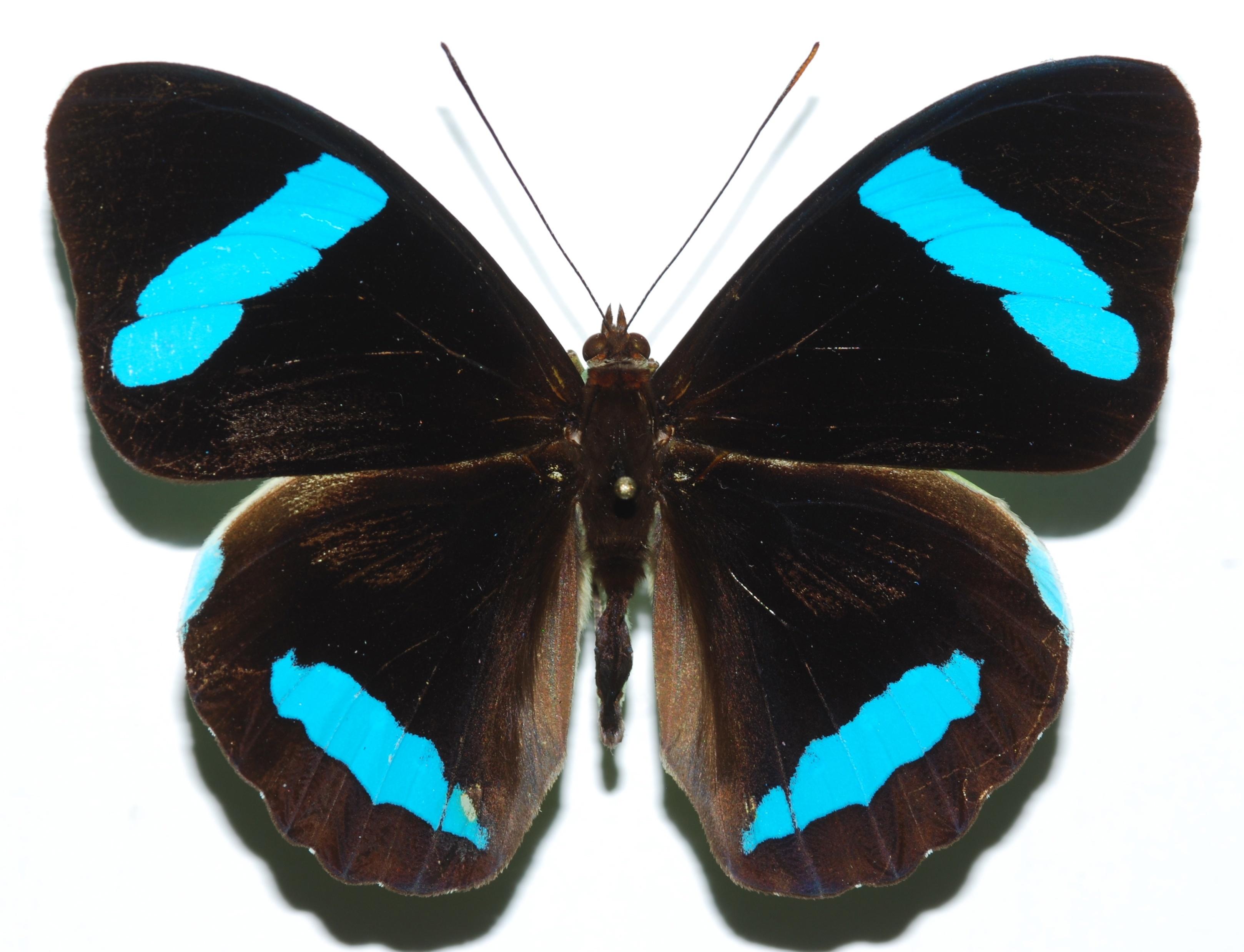 Image of <i>Nessaea hewitsonii</i> Felder 1859