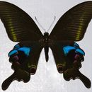 Image of <i>Papilio arcturus</i> Westwood 1842