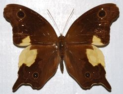 Image of <i>Neorina lowii neophyta</i> Fruhstorfer 1911