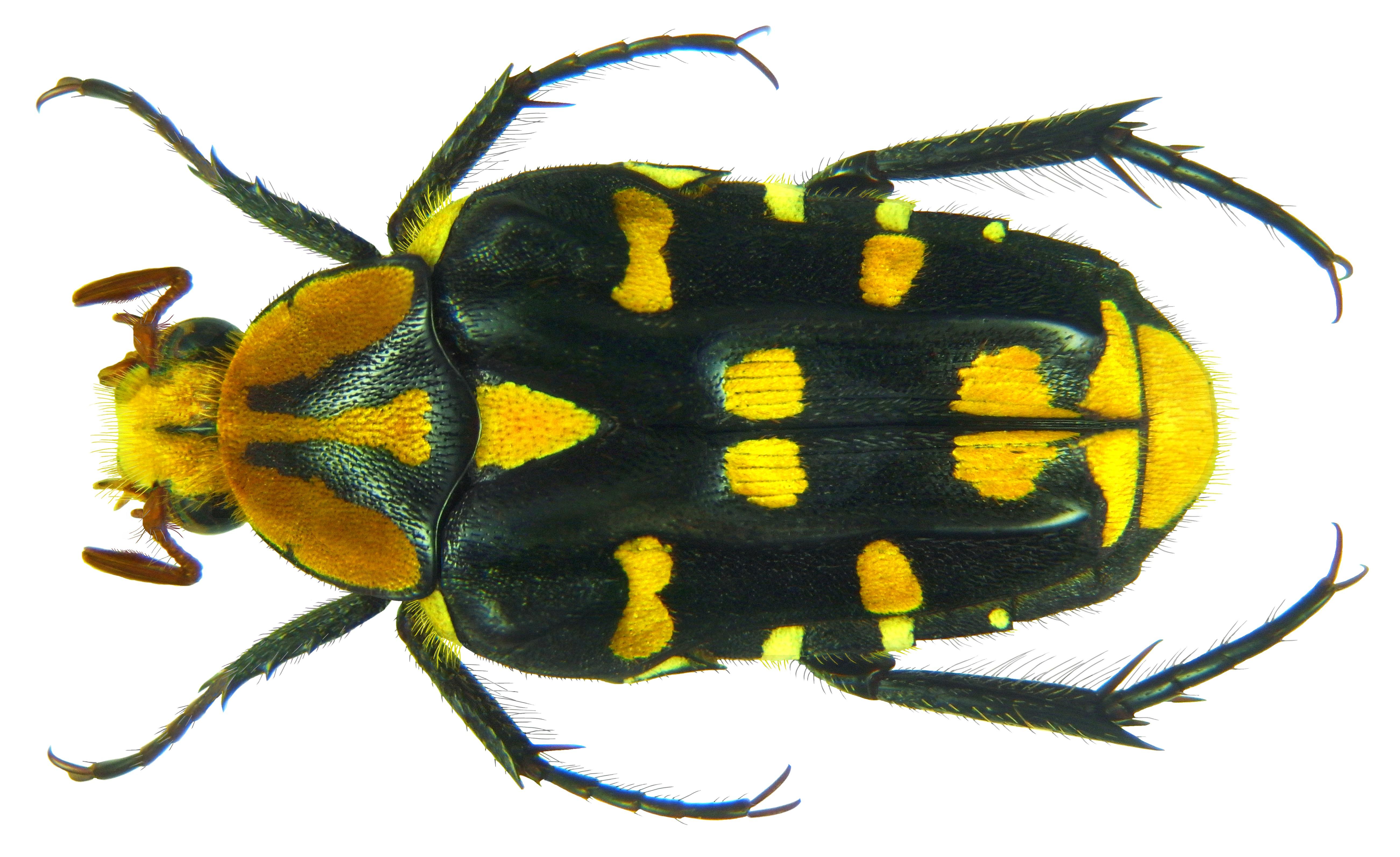 Image of <i>Ixorida</i> (<i>Pseudomecinonota</i>) <i>gueyraudi</i> Antoine 1992
