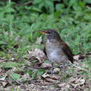 Image of Izu Thrush