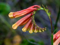 Image of <i>Spigelia pulchella</i> Mart.