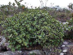 Image of <i>Clusia obdeltifolia petasitifolia</i>