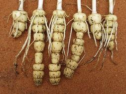 Image of <i>Kabuyea hostifolia</i> (Engl.) Brummitt
