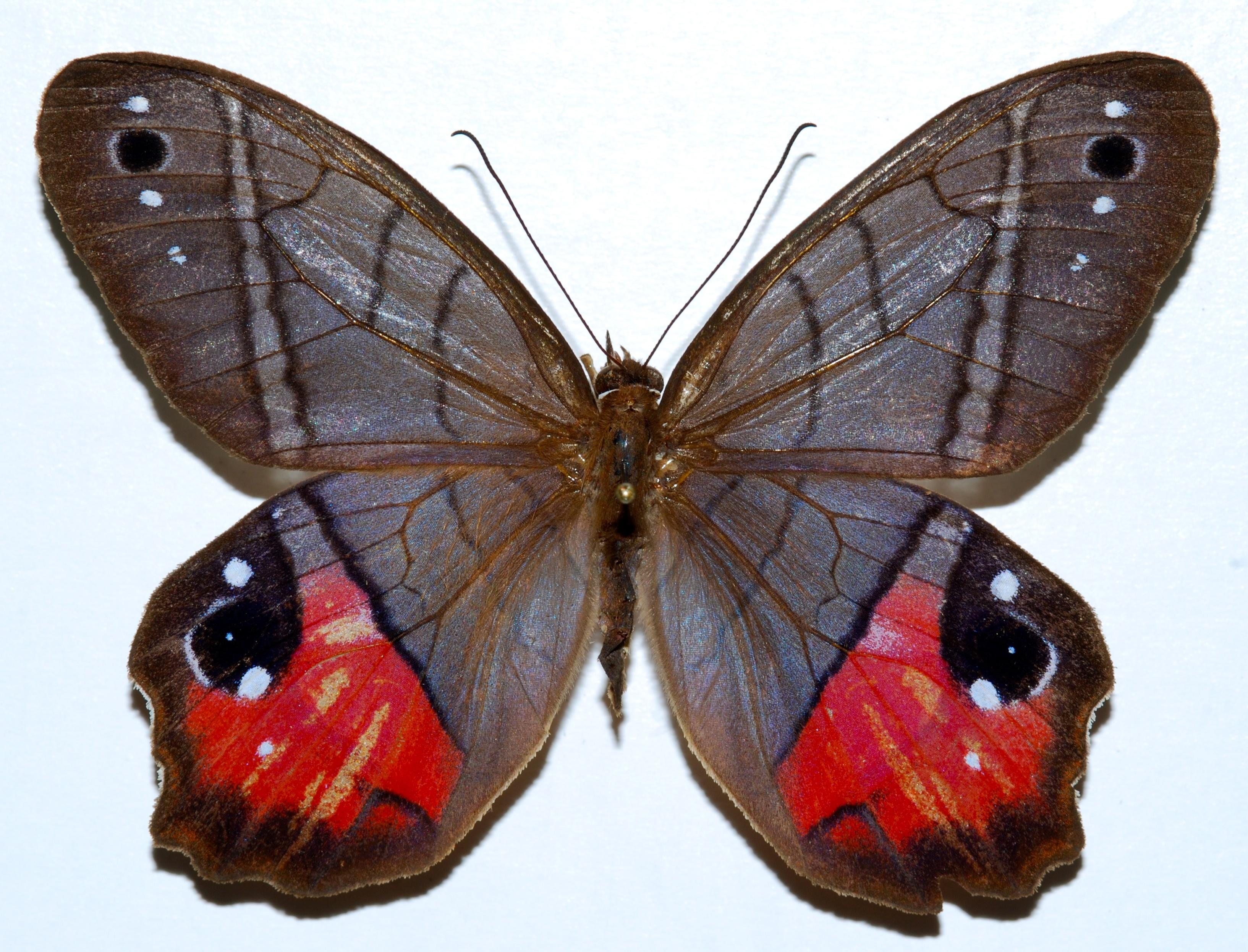 Image of <i>Pierella helvetia incanescens</i>