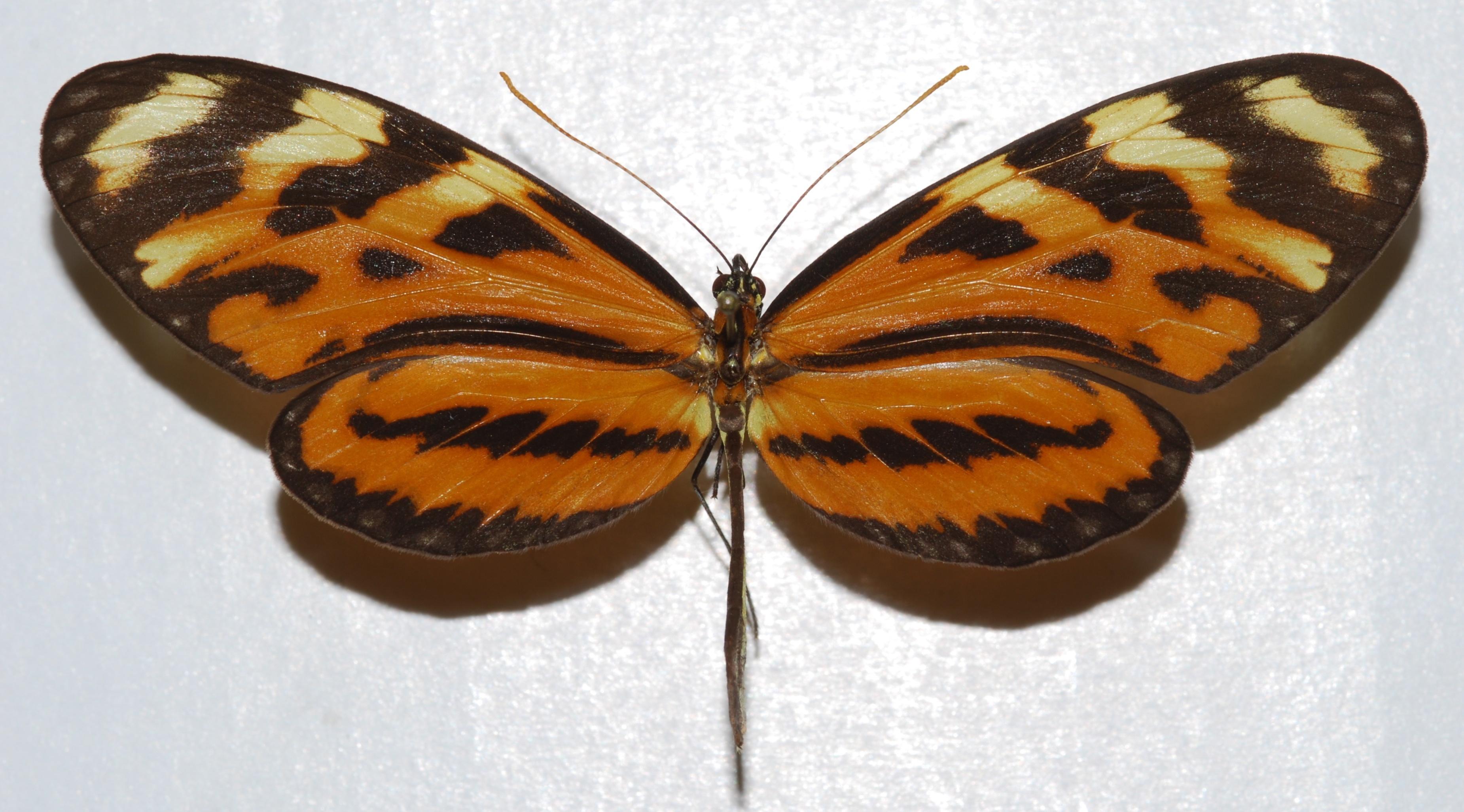 Image of <i>Mechanitis lysimnia doryssus</i> Bates 1864