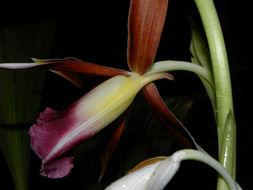 Image of <i>Phaius tancarvilleae</i>