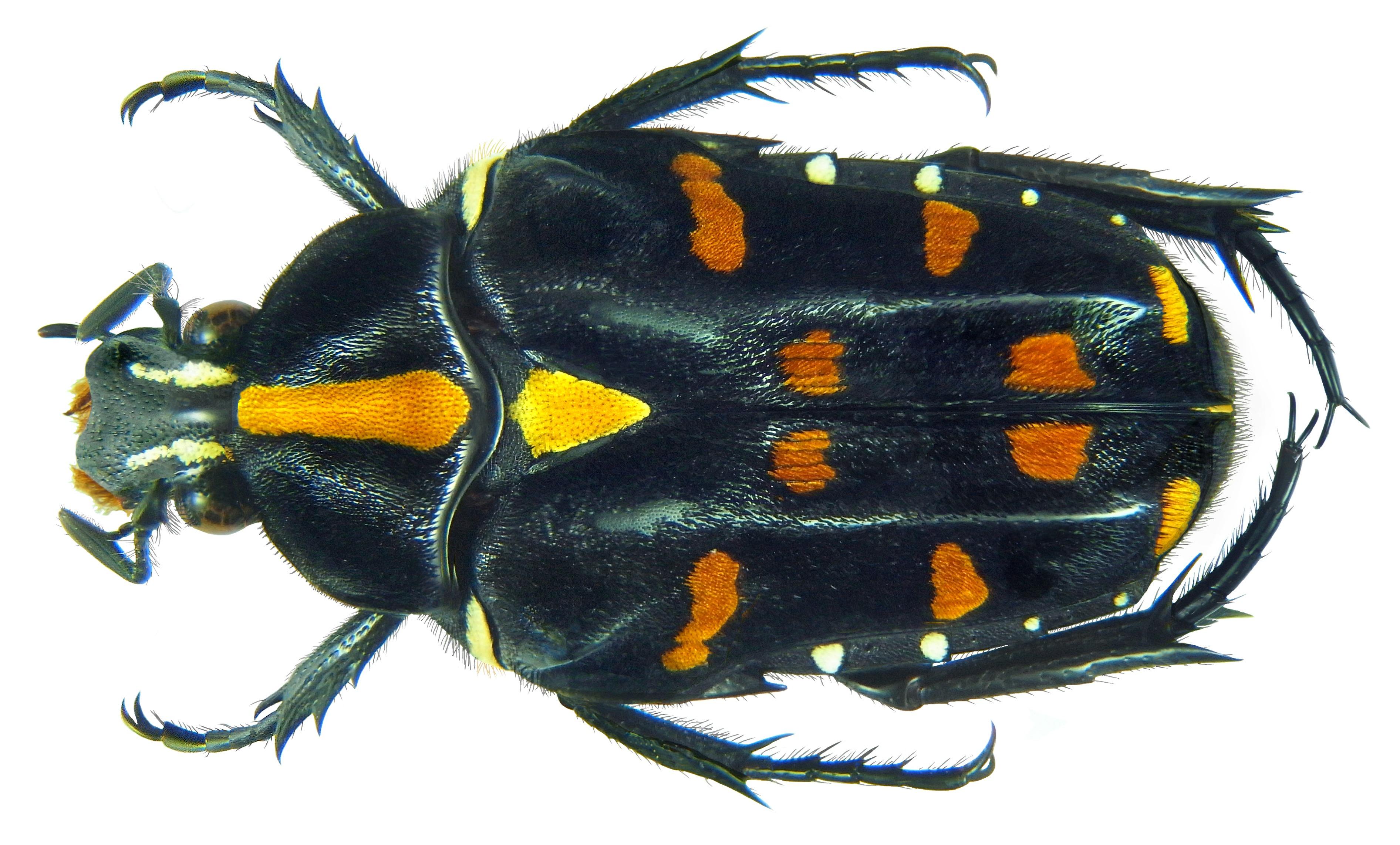 Image of <i>Ixorida</i> (<i>Pseudomecinonota</i>) <i>elegans</i> (Heller 1896)