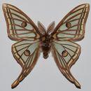 Image of Graellsia Grote 1896