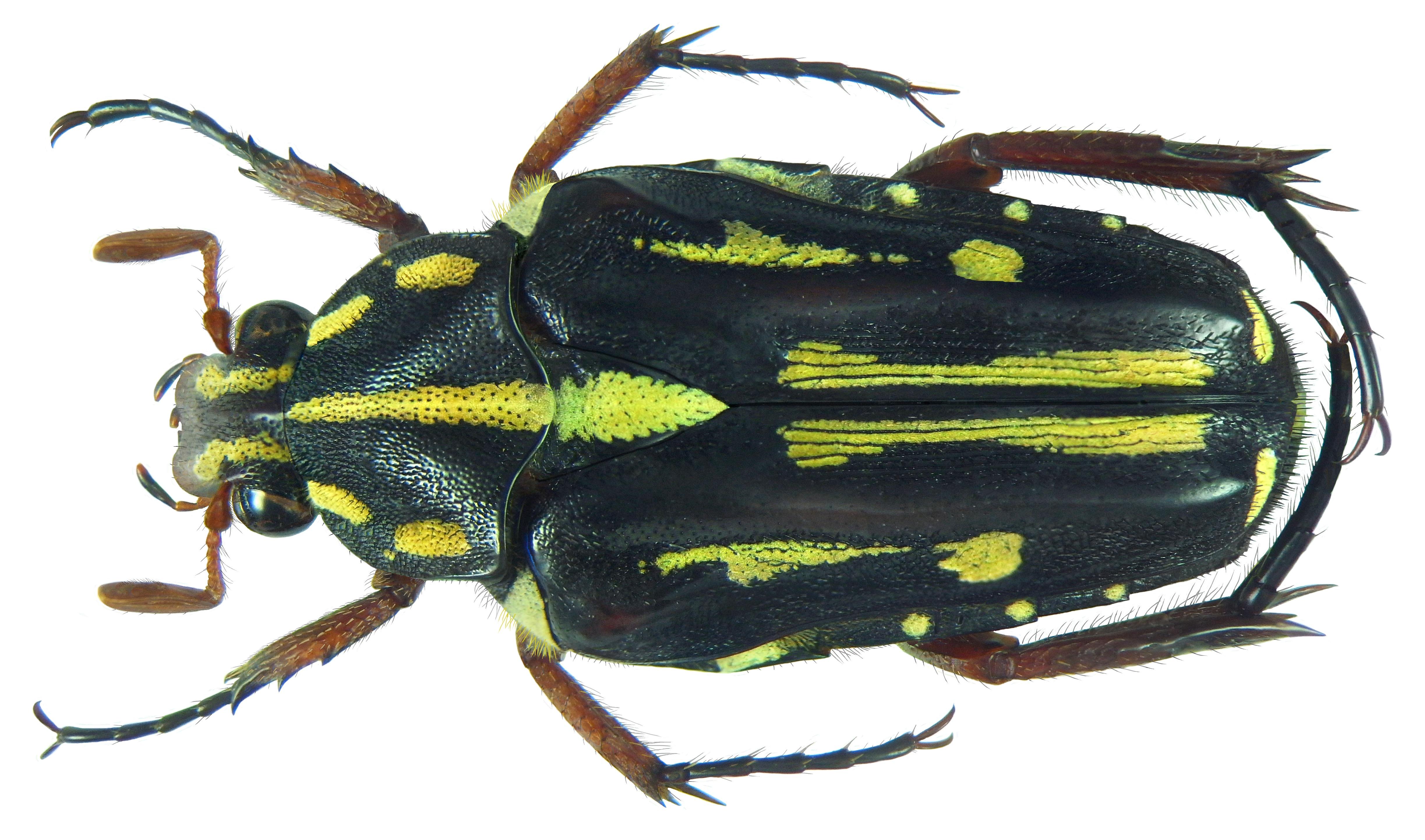 Image of <i>Ixorida</i> (<i>Mecinonota</i>) <i>nagaii</i> Antoine 1992