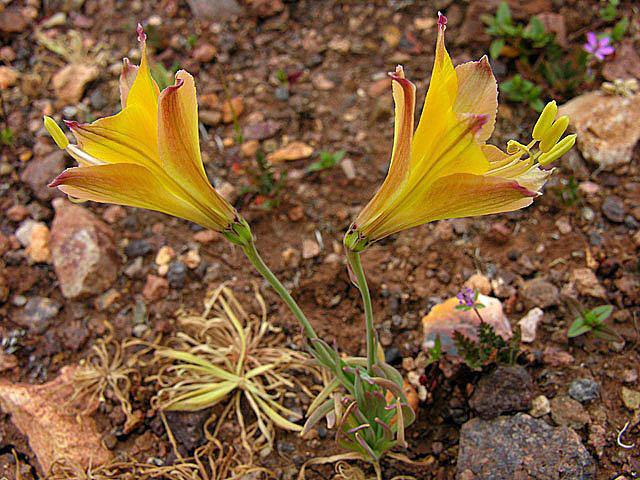 Image of <i>Alstroemeria kingii</i> Phil.
