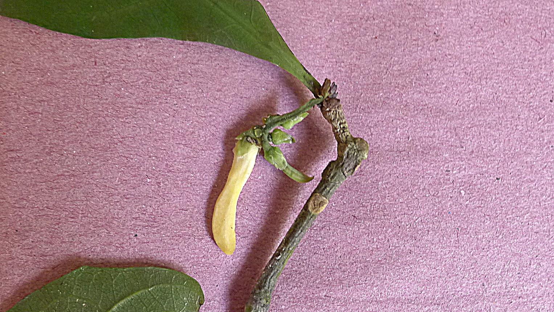 Image of <i>Amphirrhox longifolia</i> (A. St.-Hil.) Sprengel