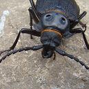 Image of <i>Acanthinodera cummingii</i>