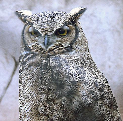 Image of Lesser Horned Owl