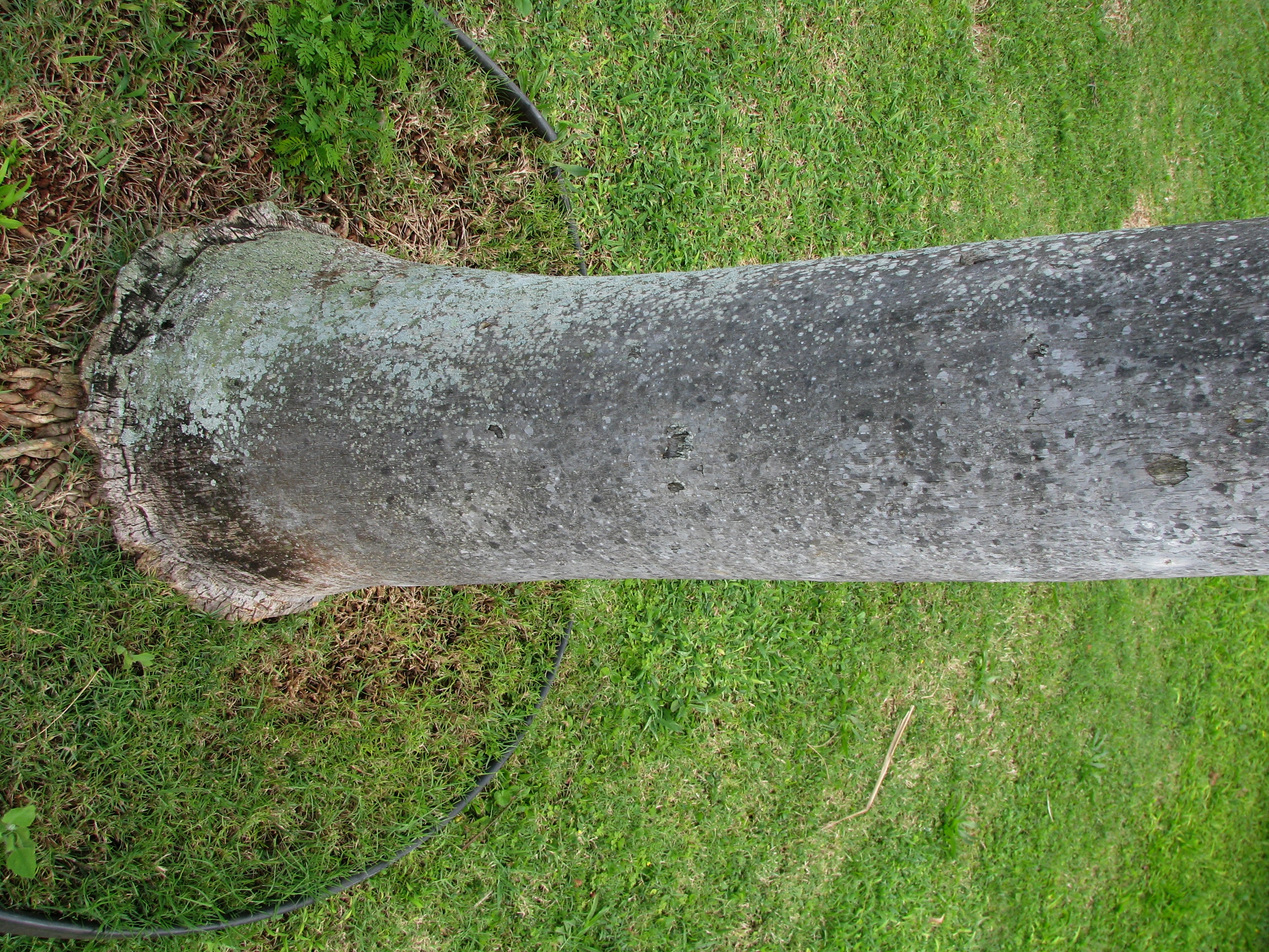 Image of <i>Pritchardia pacifica</i> Seem. & H. Wendl.