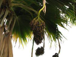 Image of Fiji fan palm