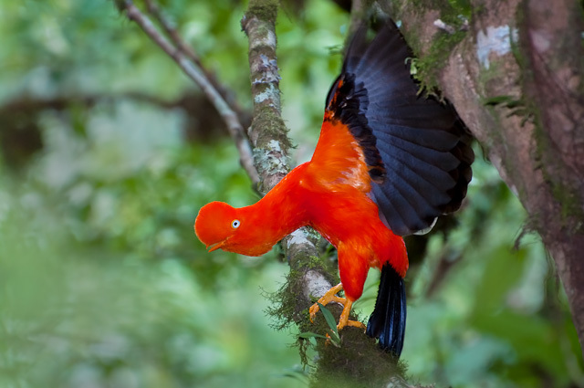 Image of Andean Cock-of-the-rock