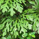 Image of <i>Anthurium clavigerum</i> Poepp.