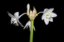 Image of <i>Eucharis bouchei</i> Woodson & P. Allen