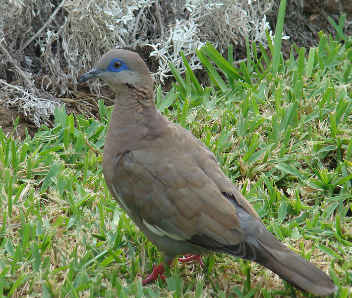 Image of West Peruvian Dove