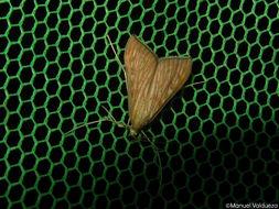 Image of <i>Antigastra catalaunalis</i> Duponchel 1833