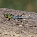 Image of Thin Tree Iguana
