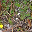 Image of rabbitbells