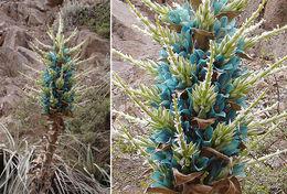 Image of <i>Puya berteroniana</i> Mez