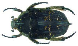 Image of <i>Protaetia</i> (<i>Pseudourbania</i>) <i>pectoralis</i> Mohnike 1871