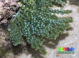 Image of <i>Caulerpa racemosa</i> var. <i>turbinata</i>